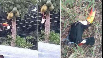 Foto de Tucanos são abatidos com tiros de espingarda em Água Clara